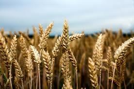 Ripe-Harvest